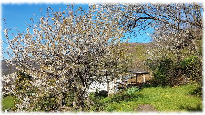 oustaou-Cerisers-merisier-en-fleurs